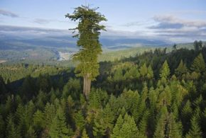 Top Ten Tallest Trees In The World