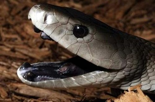 Worlds Top Ten Most Poisonous Snakes