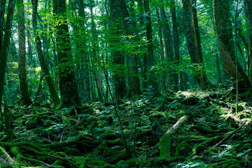 5 of the Scariest Places on Earth   Aokigahara Forest