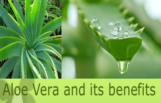 Photo of The 7 Benefits of Aloe Vera That Will Make You Run to Get Some Now